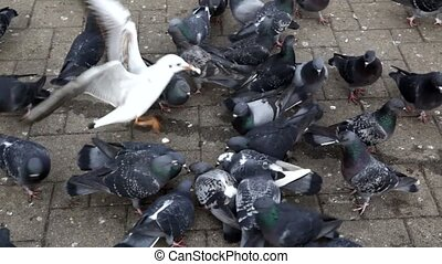 A lot of pigeons flock to bread crumbs on the sidewalk in the Park. High quality FullHD footage
