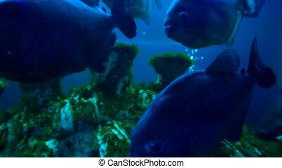A lot of pirnhas in aquarium or deep under water