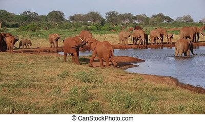 Lot of red elephants on the waterhole in Kenya