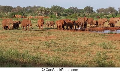 A lot of red elephant on the waterhole in Kenya
