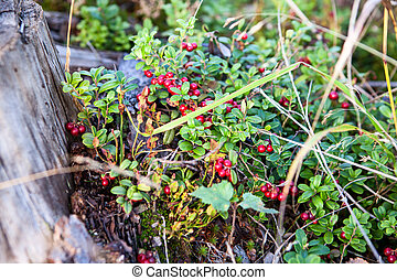 A lot of ripe berries of red bilberry in autumn forest, close-up view