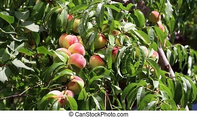 ripe peaches on a branch - a lot of ripe peaches on a branch...