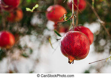 a lot of ripe red big pomegranates hanging on the mouths of nature in Turkey