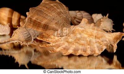 A lot of sea shells on black, rotation, reflection, close up