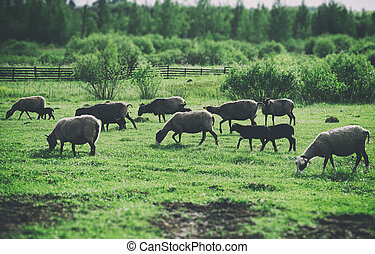 A lot of sheep grazing on pasture.