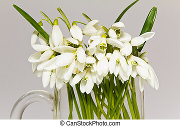 a lot of snowdrops in glass vase isolated on white background