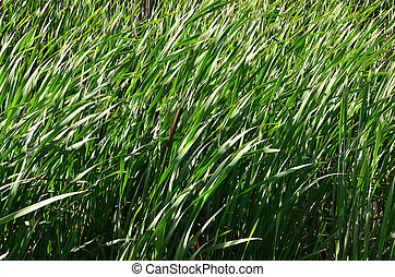 A lot of stems from green reeds. Unmatched reeds with long stems