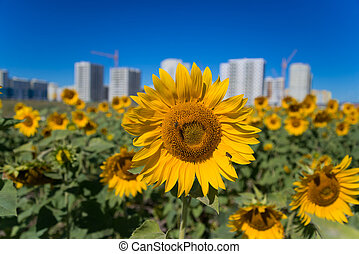 a lot of sunflowers close up with to be in front of the building against the clear sky