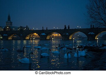 A lot of swans near Charles bridge in Prague