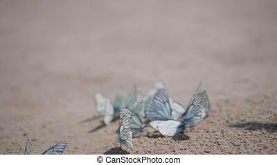 A lot of white butterflies sitting on the sand, the butterfly is the cabbage butterfly