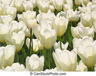 A lot of white tulips natural background.