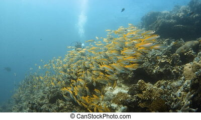 A lot of yellow fish group together underwater