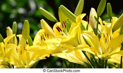 A lot of yellow lily with large stamens - yellow lily with a...