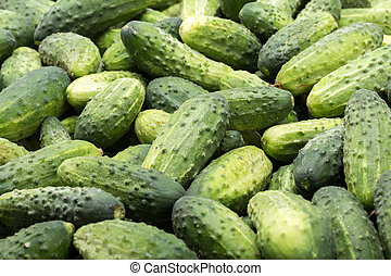 a lot of young cucumbers as background