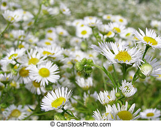 a lot white flowers on the meadow