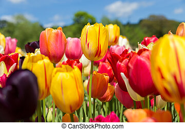 a lots of beautiful tulips with blue sky in the background