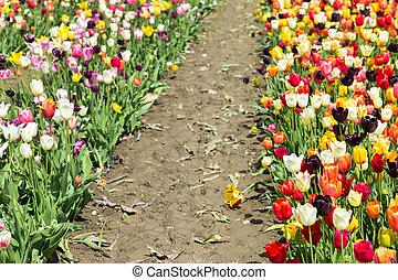 a lots of beauty tulips on a field