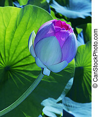 A Lotus Blossom against a background of leaves.