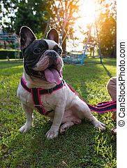 a lovely black and white french bulldog is sitting in the yard