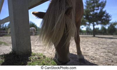 A lovely white mane pony grazes in a ranch paddock or farm shaking its head while developing its lovely hair. Hippotherapy concept. High quality 4k footage.