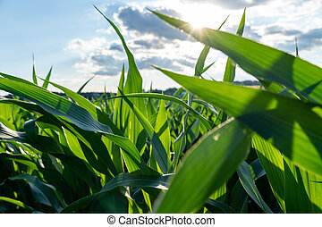 Corn Leaves in the Sunshine
