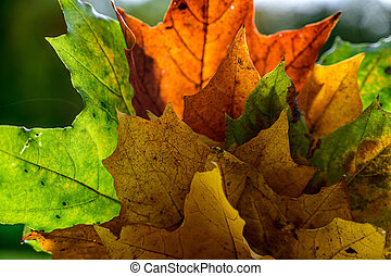 A lush bouquet of beautiful yellow and red maple leaves in the backlight. when autumn comes.