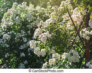 A lush bush of small white roses in the garden