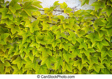 A lush plant ivy on the wall, background