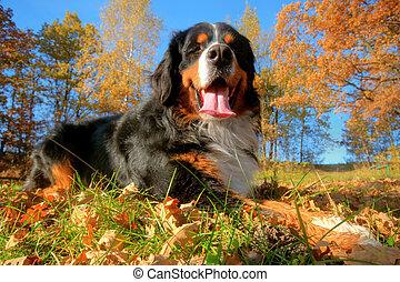 a, lycklig, bernese alpin hund, utomhus