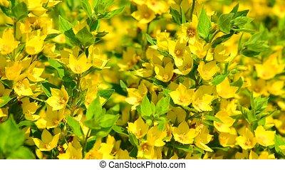 Lysimachia vulgaris swaying in the wind - A Lysimachia...