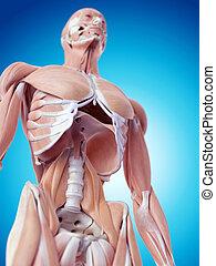 a, músculos abdominais