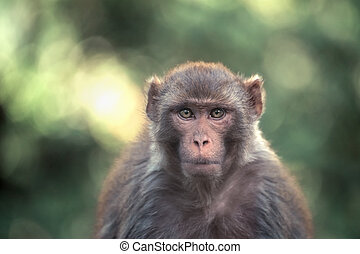 macaque - a macaque in the rainforest