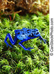 Blue Poison Dart Frog - A macro shot of a Blue Poison Dart...