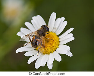 A macro shot of a Honey Bee on a daisy flower.