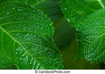 A macro shot of green leaves from an hydrangea plant