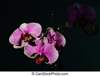 A magnificent branch of an orchid with large flowers blossomed in the background