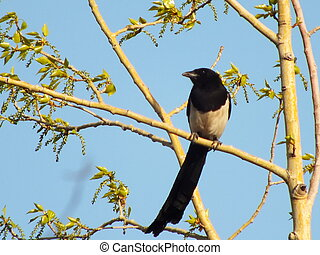 A magpie on a poplar branch