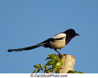 A magpie on the cut-off tree stem