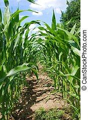 mais corn field