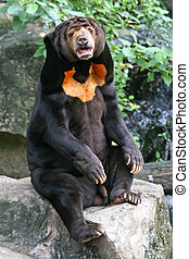 A Malayan Sun Bear, found primarily in the tropical rainforests of Southeast Asia.