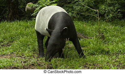 A malayan tapir searching the ground for food - Wide shot of...
