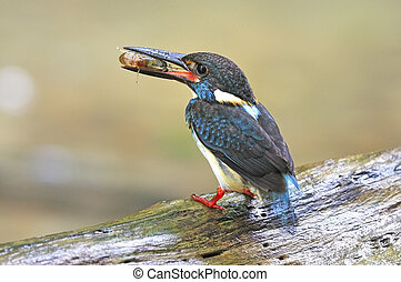 male Blue-banded Kingfisher