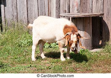 A male Boer goat in a barn yard.