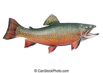A male brook or speckled trout in spawning colors isolated ...