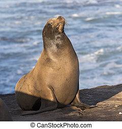 A male California Sea Lion basking in the sun - San Diego, California