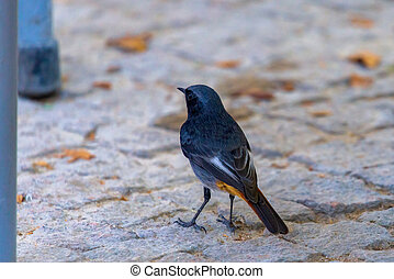A male Eastern Black Redstart or Phoenicurus ochruros rufiventris perched on ground.