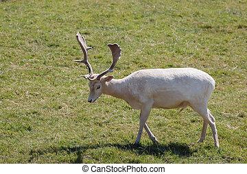 A male Fallow Deer (Dama dama) wandering along the filed