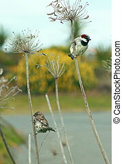 The House Sparrow (Passer domesticus) is a bird of the sparrow family Passeridae, found in most parts of the world. A small bird, it has a typical length of 16 cm (6.3 in) and a weight of 24%u201339.5 g (0.85%u20131.39 oz). Females and young birds are coloured pale brown and grey, and males have ...