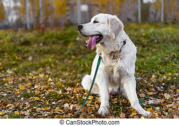 A male Golden Retriever puppy sits on the grass. Autumn, fallen leaves. Copy space.