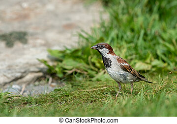 A male house sparrow looking for food, green meadow in summer